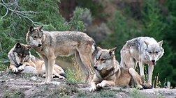 Οι λύκοι κατασπάραξαν τη βρετανίδα ακτιβίστρια στη Ροδόπη