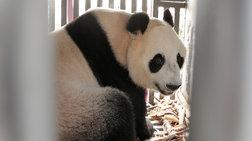 panda-mania-stin-indonisia-gia-to-zeugos-pou-irthe-apo-kina