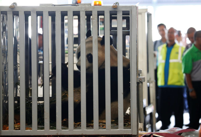 «Panda mania» στην Ινδονησία για το ζεύγος που ήρθε από Κίνα - εικόνα 3