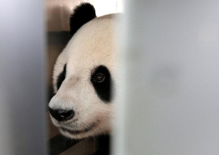«Panda mania» στην Ινδονησία για το ζεύγος που ήρθε από Κίνα - εικόνα 4