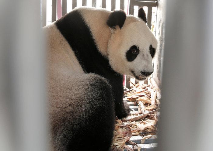 «Panda mania» στην Ινδονησία για το ζεύγος που ήρθε από Κίνα - εικόνα 5