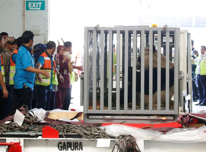«Panda mania» στην Ινδονησία για το ζεύγος που ήρθε από Κίνα - εικόνα 6