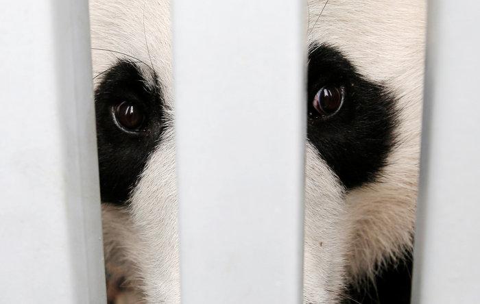 «Panda mania» στην Ινδονησία για το ζεύγος που ήρθε από Κίνα - εικόνα 9