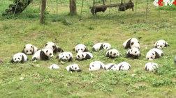 Πάρτι για 42 μωρά πάντα που γεννήθηκαν στην Κίνα