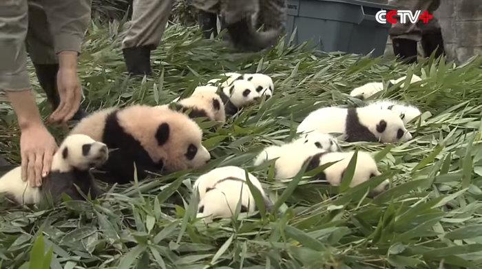 Πάρτι για 42 μωρά πάντα που γεννήθηκαν στην Κίνα - εικόνα 2