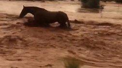 Άλογο παλεύει με τα νερά του χείμαρρου στη Μάνδρα (ΒΙΝΤΕΟ)