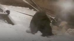 Ουρακοτάγκος φτιάχνει χιονόμπαλες σε ζωολογικό κήπο (ΒΙΝΤΕΟ)