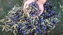 Μαζεύουν τις ελιές των παραγωγών και κλέβουν τη σοδειά τους