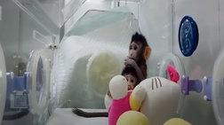 Για πρώτη φορά: Επιστήμονες κλωνοποίησαν μαϊμούδες (βίντεο)