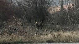 Δύο νεαρά αρκουδάκια έφτασαν ως την είσοδο της Καστοριάς (ΦΩΤΟ)