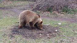 """Ο """"Αρκτούρος"""" σώζει το αρκουδάκι Ρέι που είχε βγει προς πώληση"""