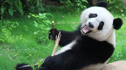 i-aporia-luthike-giauto-to-logo-ta-aksiolatreuta-panda-trefontai-me-mpampou