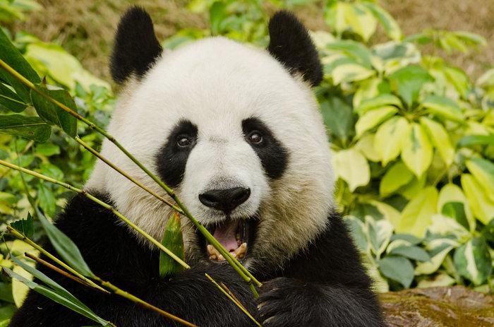 Η απορία λύθηκε: Γι'αυτό το λόγο τα αξιολάτρευτα panda τρέφονται με μπαμπού
