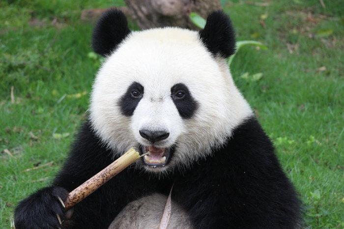 Η απορία λύθηκε: Γι'αυτό το λόγο τα αξιολάτρευτα panda τρέφονται με μπαμπού - εικόνα 2