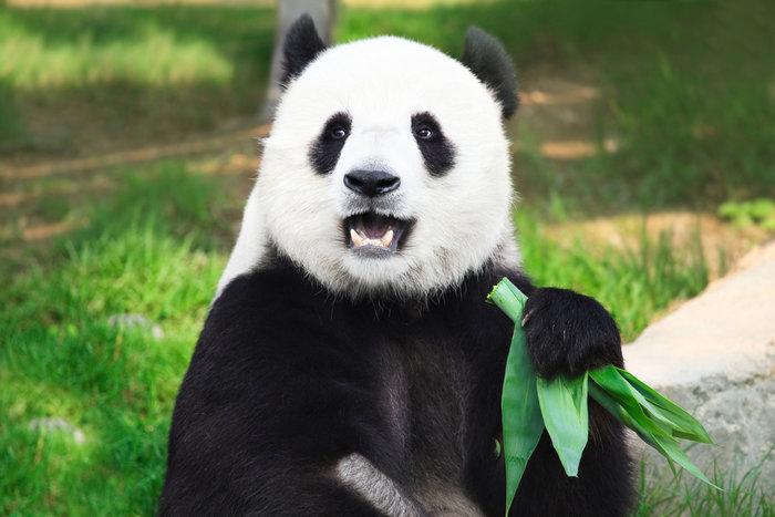 Η απορία λύθηκε: Γι'αυτό το λόγο τα αξιολάτρευτα panda τρέφονται με μπαμπού - εικόνα 3