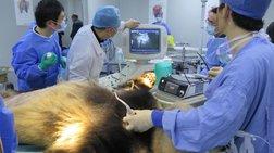Γιγάντιο πάντα νοσηλεύεται σε κρίσιμη κατάσταση μετά από εγχείρηση στομάχου