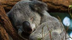 Κοάλα: Το ζώο που κοιμάται 20 ώρες το 24ωρο