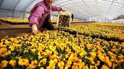 Επιστήμονες δημιουργούν νέα χρώματα λουλουδιών για τόνωση του τουρισμού