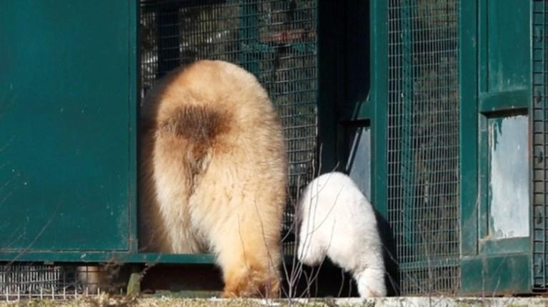 Το πρώτο πολικό αρκουδάκι στο Πάρκο Άγριας Ζωής Χάιλαντ