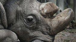 """TIME: To συγκινητικό """"αντίο"""" στον τελευταίο λευκό ρινόκερο στον πλανήτη"""