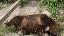 Τραυματισμένη αρκούδα πέθανε κατά τη μεταφορά της στην Κτηνιατρική Σχολή