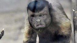 Μαϊμού με «ανθρώπινο πρόσωπο» σαρώνει το διαδίκτυο