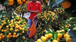 DW: Η μαφία στην παραγωγική αλυσίδα της ιταλικής γεωργίας