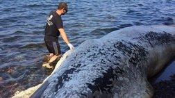 Ξεβράστηκε στη Σαντορίνη νεκρή φάλαινα εννέα μέτρων
