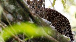 Το εκπληκτικό αφιέρωμα του Reuters για τους ιαγουάρους του Αμαζονίου