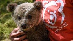 Πώς κέρδισε το όνομά του ο Λουίτζι: Ενα ορφανό αρκουδάκι, μόλις λίγων μηνών