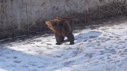 Άρχισε τις βόλτες της η Χριστίνα, η αρκούδα
