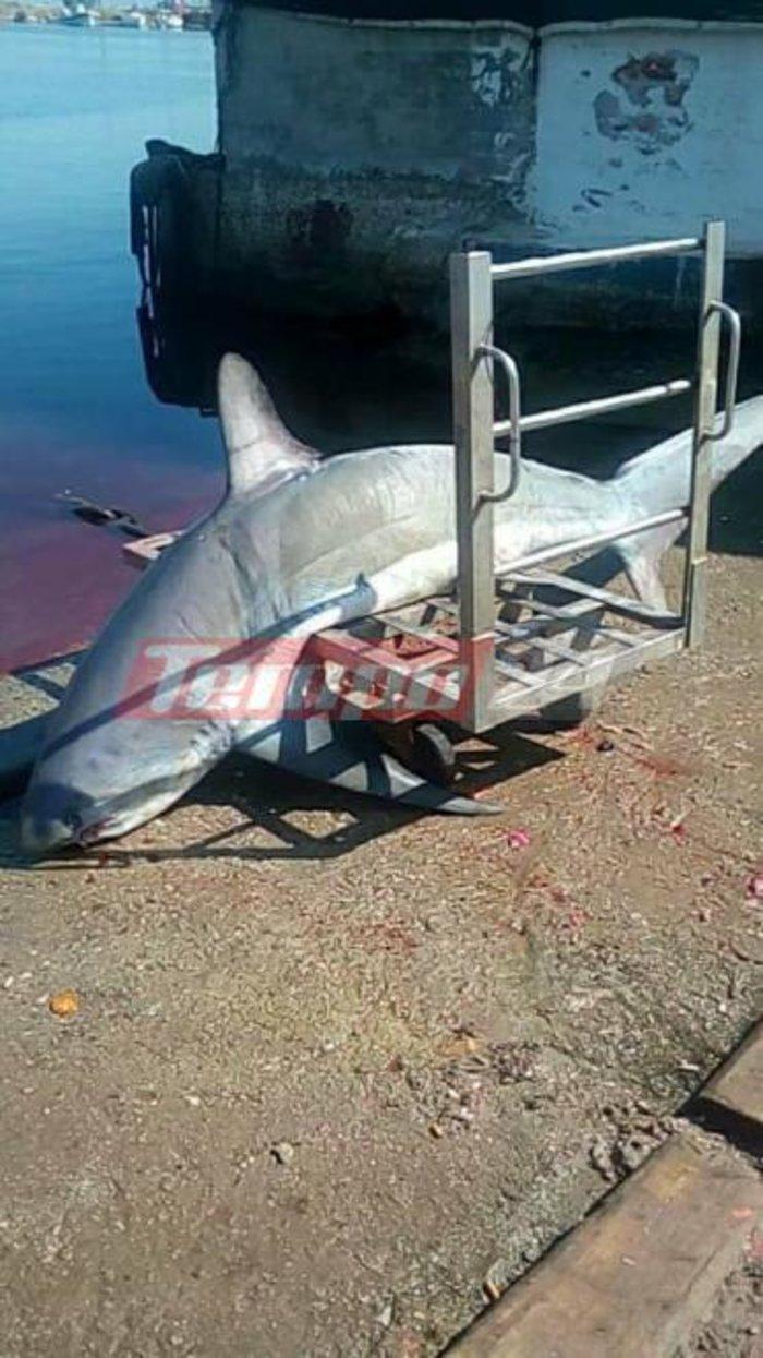 Έπιασαν καρχαρία 200 κιλών στον Πατραϊκό