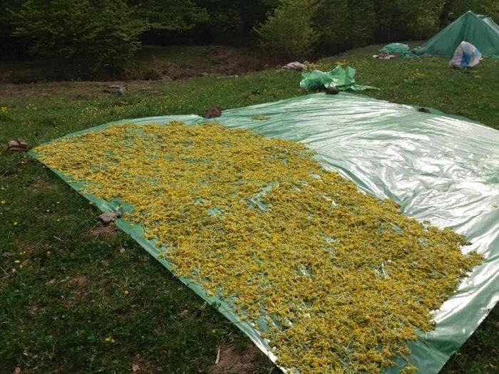 Αλβανοί «θερίζουν» τα βότανα από τα ελληνικά βουνά. Νέες συλλήψεις - εικόνα 2