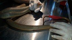 Φίδι δίπλα σε καροτσάκια σε σούπερ μάρκετ