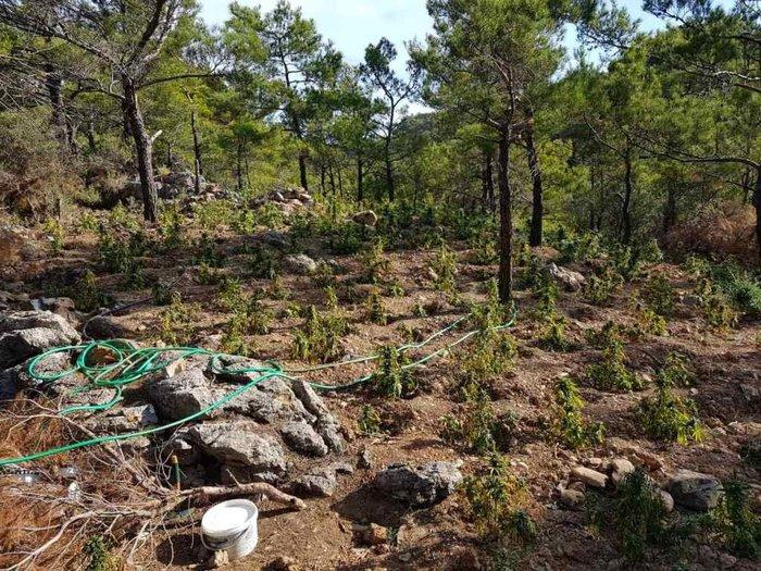 Σε εξέλιξη οι έρευνες για ιδιοκτήτες μεγάλης φυτείας κάνναβης στο Λασίθι