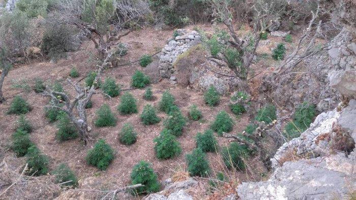 Σε εξέλιξη οι έρευνες για ιδιοκτήτες μεγάλης φυτείας κάνναβης στο Λασίθι - εικόνα 2