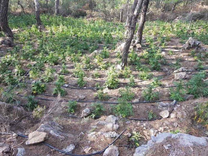 Σε εξέλιξη οι έρευνες για ιδιοκτήτες μεγάλης φυτείας κάνναβης στο Λασίθι - εικόνα 4