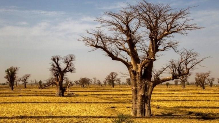 Γιατί πεθαίνουν τα θρυλικά μπαομπάμπ της Αφρικής
