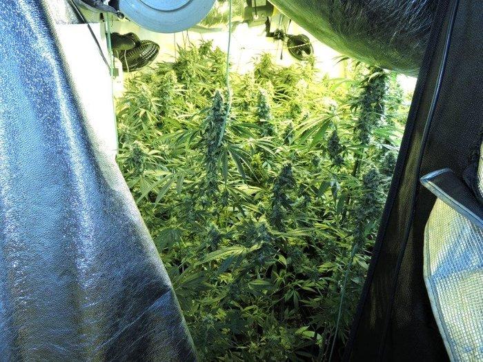 Πλήρως εξοπλισμένη υδροπονική καλλιέργεια κάνναβης σε σπίτι - Εικόνες - εικόνα 3