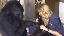 Εκπαιδεύοντας την Κόκο που επικοινωνούσε στη νοηματική (Βίντεο)