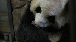 Κίνα: Δίδυμα πάντα γεννήθηκαν στην Τσενγκντού