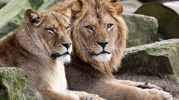 liontaria-katasparaksan-lathrothires-se-parko-safari