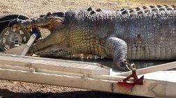 Μετά από 8 χρόνια έπιασαν κροκόδειλο 600 κιλών στην Αυστραλία!