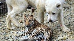 skulitsa-uiothetei-neogenniti-leopardali