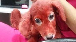 Εικόνες ντροπής: Βρέθηκε κουτάβι βαμμένο με κόκκινη μπογιά