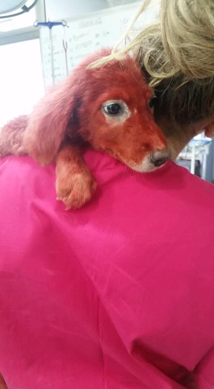 Εικόνες ντροπής: Βρέθηκε κουτάβι βαμμένο με κόκκινη μπογιά - εικόνα 2