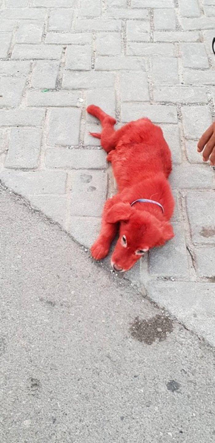 Εικόνες ντροπής: Βρέθηκε κουτάβι βαμμένο με κόκκινη μπογιά - εικόνα 3