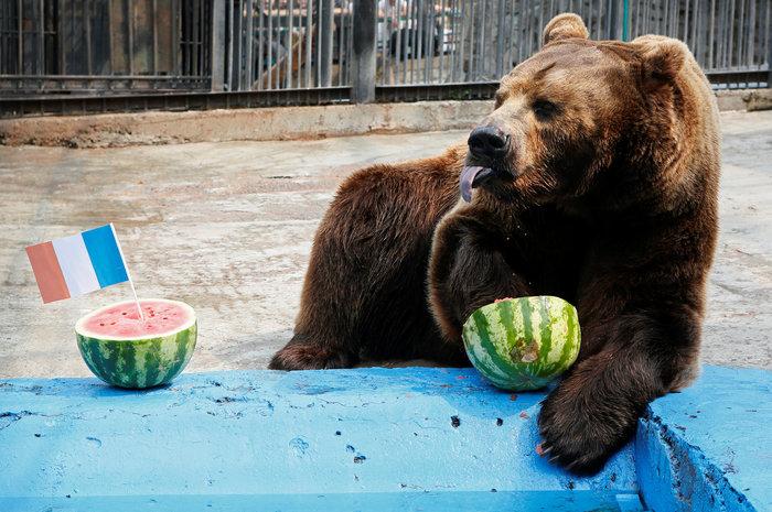 Νίκη της Κροατίας στον τελικό προβλέπει ο αρκούδος Μπούγιαν Εικόνες - εικόνα 3