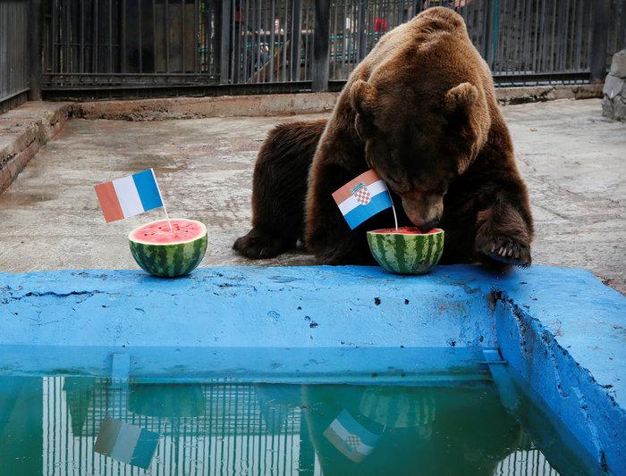 Νίκη της Κροατίας στον τελικό προβλέπει ο αρκούδος Μπούγιαν Εικόνες - εικόνα 2