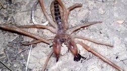 araxni---skorpios-entopistike-sta-trikala